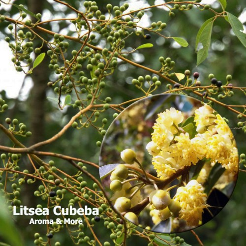 Litsea Cubeba (May Chang)...